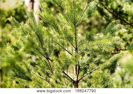 Horizontal Image Of Lush Early Spring Foliage - Vibrant Green Spring Fresh Leaves Of Pine Tree In Sp