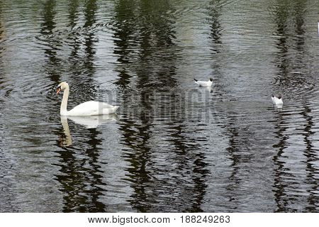 one 1 Swan two seagulls 2 bird on the water surface of the pond