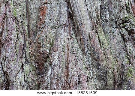 Redwood Trunk Details. Henry Cowell Redwoods State Park, Santa Cruz County, California, USA. poster