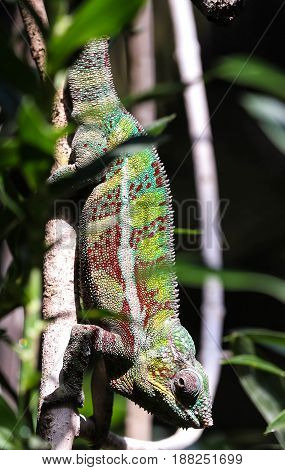 A male panther chameleon is hanging on to a branch.