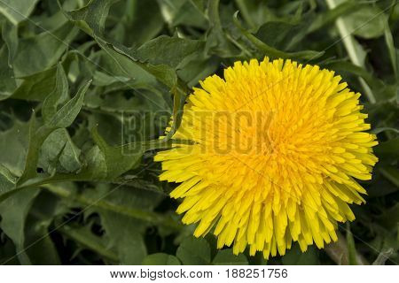 yellow dandelion flower green leaves, plant, nature
