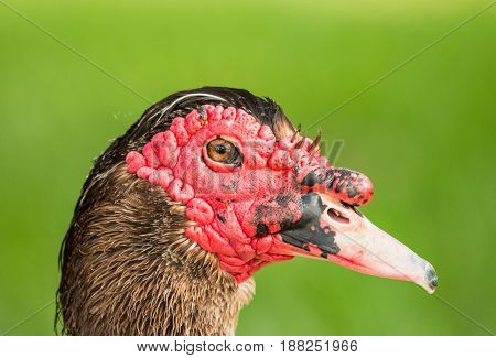 Male Muscovy Duck portrait, close up of head with green background