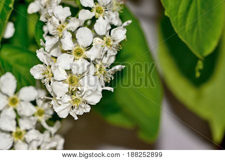 bush of the blossoming bird cherry closeup