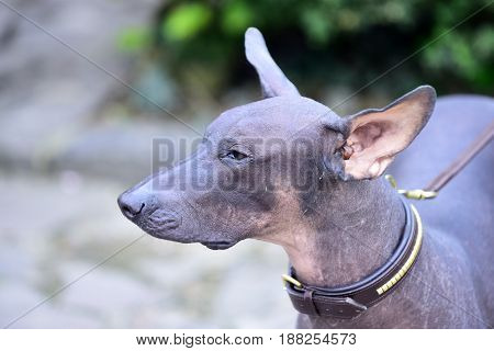 Hairless Dog With Grey Color Skin Outdoor On Blurred Background