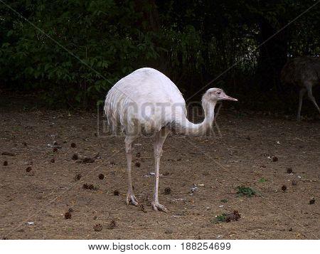 Emu white Wildlife animal , (Dromaius novaehollandiae)