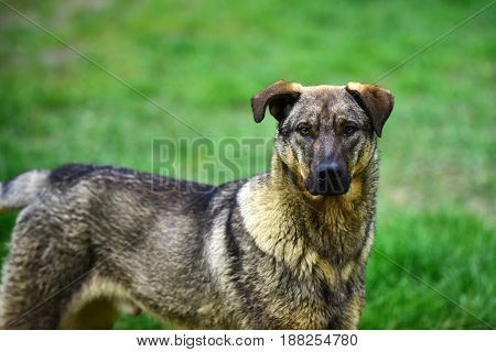Portrait Of A Sad Homeless Dog On Green Grass Background