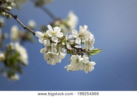 flowering branch cherry on a background of bright blue sky with space for text