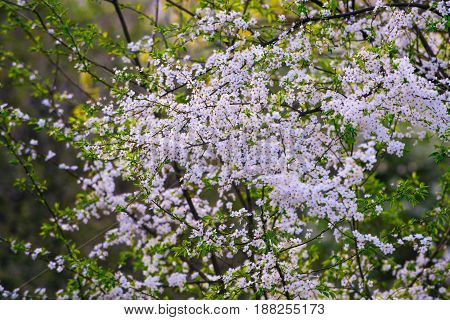 Closeup Of Branch Of Bird Cherry, White Color Flowers