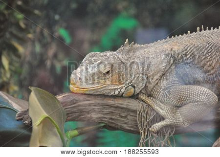 Green iguana (Iguana iguana rhinolopha). Green iguana wild life animal.