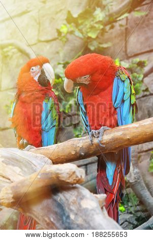 Couple of colorful Greenwinged Macaw aviary sitting on the log.