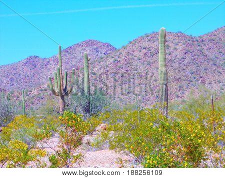 Saguaro Cactus in the sunny Arizona desert