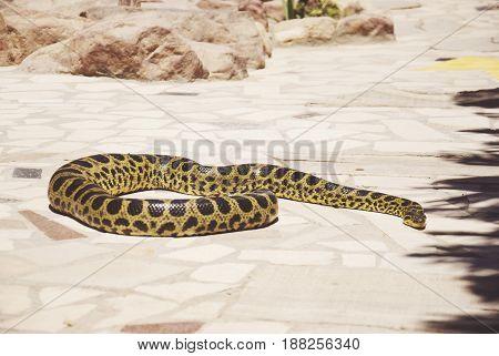 Burmese PythonPython bivittatus on the stone background.