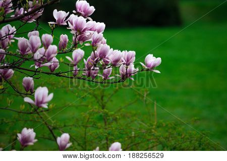 Beautiful Flowers Of Magnolia Blooming Tree Pink Color On Branch