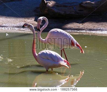 Two pink flamingos standing in the water with reflections.