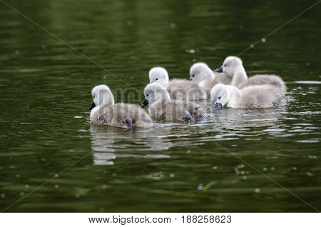 A group of cygnets swimming in a river they are not more than 4 days old in this picture