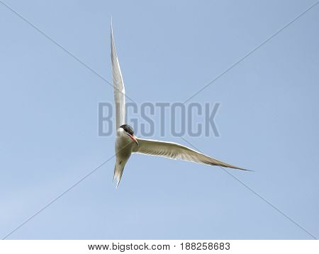 A Common Tern flying owith clear blue sjy as the background