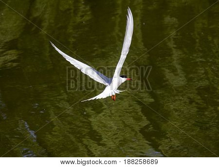 A common tern flying over a river pond