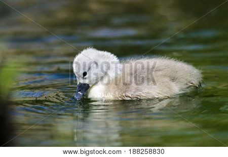 A cygnet trying to feed. The cygnet is not more than 7 days old in this picture