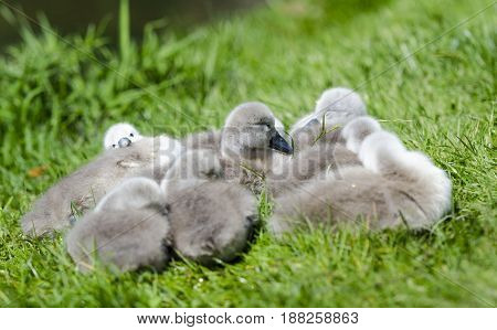 A small group of cygnets on the grass next to a river. A family of cygnets sleeping .They are not more than 6 days old