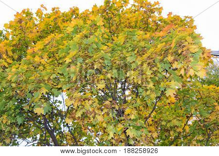 Autumn Maple Maple Leaves Tree Nature Early
