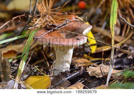 Autumn Edible mushroom Forest Fungi Early Nature