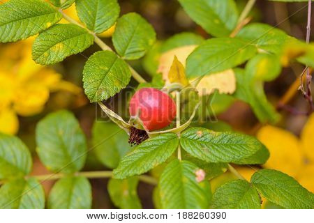 Autumn Berry Forest Forest berry Grove Ripe berry Wild Rose