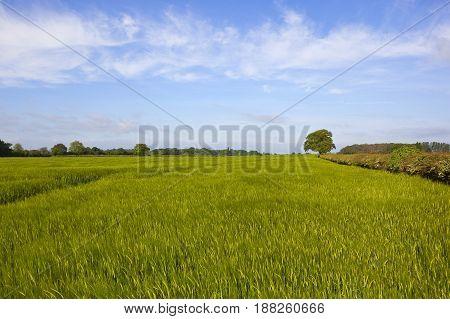 Barley Field And Woodland