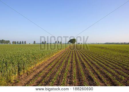 Sugar Beet And Wheat