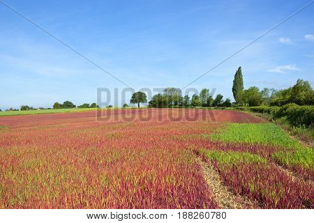 Japanese blood grass growing  on a hillside with trees and hedgerows under a blue sky in yorkshire