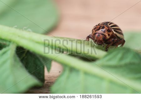 Colorado potato beetle with a leaf of a potato a macro wrecker