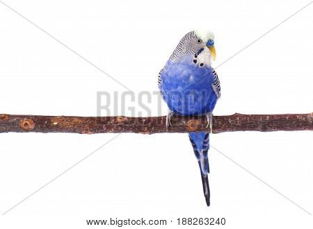Budgie blue, isolated on white background. Budgerigar in full growth