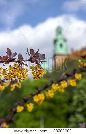 Beautiful branch of a blossoming barberry on the Wawel castle background