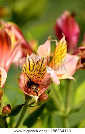 Alstroemeria ,commonly called the Peruvian lily or lily of the Incas, is a genus of flowering plants in the family Alstroemeriaceae