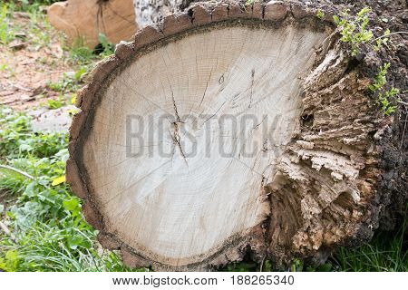 Cutting brown tree wood ring rotten on the right side
