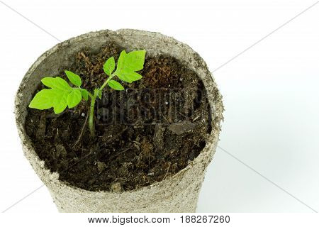 close up view of a Biodegradable Peat Moss Pot with Tomato seedlings isolated on white background with room for text or copy space