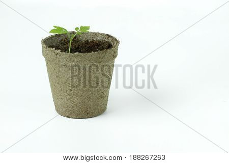Biodegradable Peat Moss Pot with Tomato seedlings isolated on white background with room for text or copy space