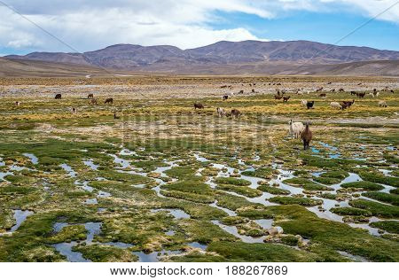 Llamas and alpacas graze in the mountains near Paso de Jama Argentina-Chile