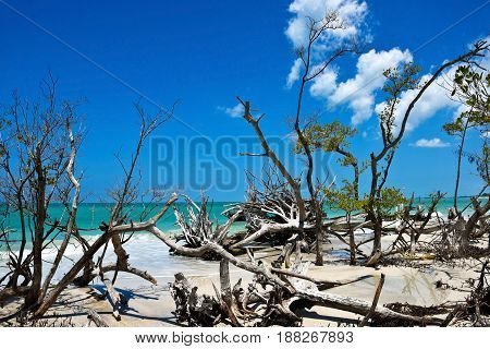 Scenic View of Beautiful Weathered Driftwood on the beach of Beer Can Island Longboat Key Florida