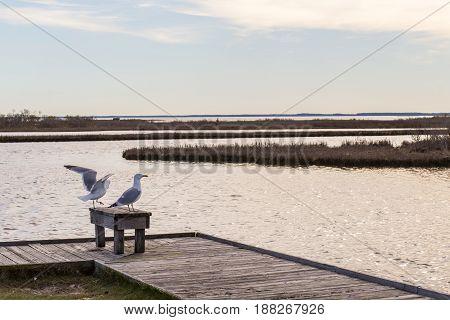 Birds on the dock Assateague island natiuonal park.