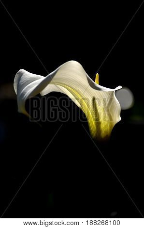 Calla is a genus of flowering plant in the family Araceae