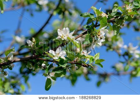the flowers of the apple tree, several inflorescences on many branches, white with a yellow core, against the blue sky and illuminated by the sun, spring period, spring,