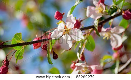 one cherry branch with a blossoming flower and small bright pink buds, lit by sunlight and against the blue sky, young green foliage, spring