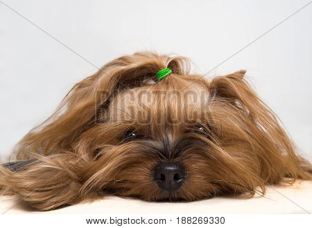 Female Yorkshire Terrier Dog