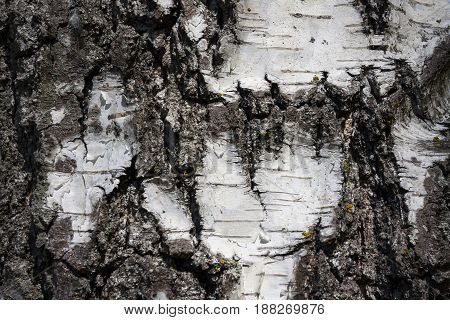 White birch bark growing in a natural environment closeup