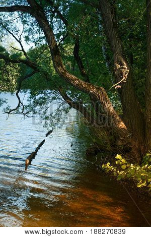 The river bank with the bent tree and the remains of the pier. Summer landscape on the banks of the green river at sunset Russia Ural