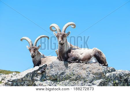 goat resting on the top of the mountain