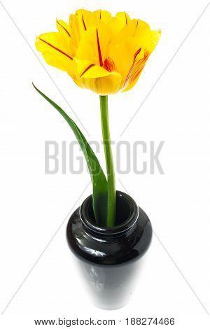 One yellow tulip in vase. Studio Photo