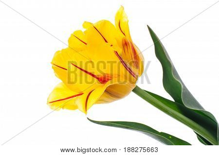 Terry yellow tulip with red stripe, isolated on white background. Studio Photo