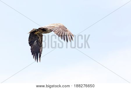 A Eagle in the sky . A photo