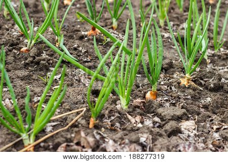 Juicy, Green Shoots Of Onion And Garlic Beds On Flat Cultivated.